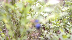 Bush forest bilberry.Zooming. Stock Footage