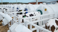 rearing of calves in individual boxes - stock footage