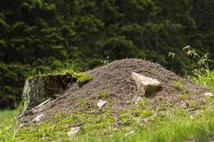 Big ant pile - stock photo