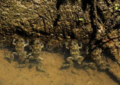 Four frogs in water Stock Photos