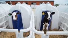 Agribusiness breeding calves Stock Footage