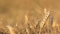 Focus on ripe cereal, blur background, good crop Stock Footage