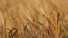 Golden cereals, beautiful nature landscape, fertile soil Stock Footage