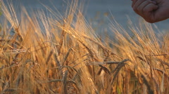 Farmer hand with cereals seed, good harvest Stock Footage