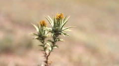 Spiky thistle in the wind Stock Footage