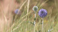 Thistle in bloom Stock Footage
