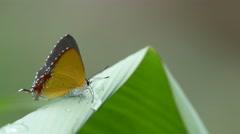gossamer-winged butterfly drinking water from dew drop - stock footage