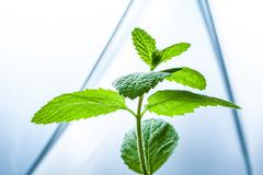Mint leaves sprout on white clinical lab background - stock photo
