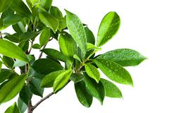 Ficus leaves bunch group close up isolated on white background - stock photo