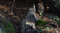 European wild cat running and jumping over fallen tree trunk in forest Stock Footage