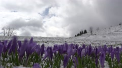 Timelapse of clouds over crocus flowers in snow Stock Footage