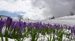 Crocus flowers growing from the snow on alpine meadow Stock Footage