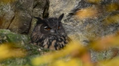 Eurasian eagle owl (Bubo bubo) looking around from rock ledge in cliff face Stock Footage