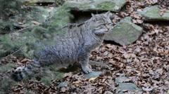 European wild cat (Felis silvestris silvestris) in forest in autumn Stock Footage