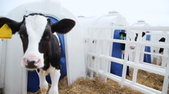 Calf posing for the camera Stock Footage