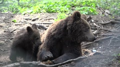 Playful cub bear embrace mother, strong relationship, noble parental conduct Stock Footage