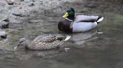 Mallard / wild duck male and female preening feathers in pond Stock Footage