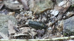 Spiny caterpillar crawling on the ground Stock Footage