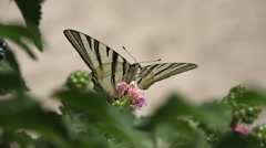 Swallowtail butterfly visiting flowers Stock Footage