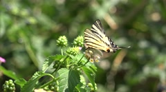 Swallowtail butterfly resting on flower Stock Footage