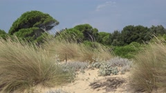 Sandy deserted area near the mediterranean beach surrounded by pine trees Stock Footage