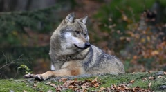 Solitary gray wolf / grey wolf scanning forest from rock in autumn Stock Footage