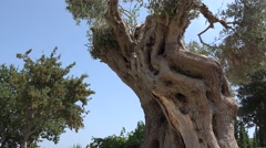 Old olive tree distorted trunk Stock Footage