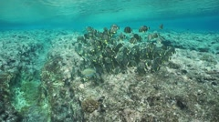 Shoal of fish surgeonfish French Polynesia - stock footage