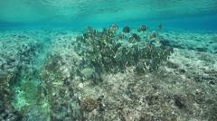 Shoal of fish surgeonfish French Polynesia Stock Footage
