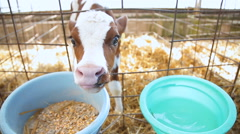 Drinker and feeder for cows Stock Footage