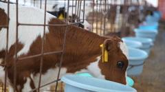 feeding calves on the farm - stock footage