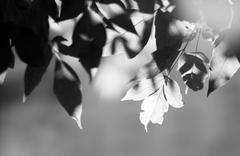 Horizontal black and white tree leaves bokeh flare top aligned b Stock Photos