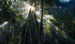 Horizontal vivid sun beams at Russian forest landscape backgroun Stock Photos