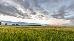 Time lapse. Green and yellow raye field. Clods. Sunset. - stock footage