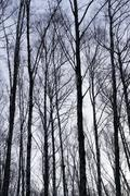 Vertical birch trees trunks nature background Stock Photos