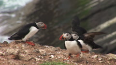 Puffins land on rock and gulls chase Stock Footage