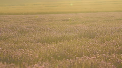 Lavender flowers at morning sunrise field, closeup detail shot Stock Footage