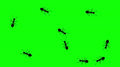 Swarm of ants, CG animated silhouettes on green screen, seamless loop Stock Footage