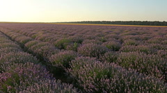First point of view, steady cam in lavender field. Stock Footage