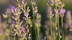 Honey Bees and grasshoppers flying and sitting on lavender flower Stock Footage