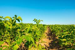 Potato field cultivation on organic technology Stock Photos