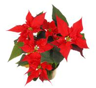 Isolated poinsettia (euphorbia pulcherrima) - stock photo