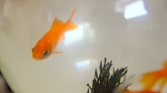 Golden fish swimming in a glass fishbowl Stock Footage