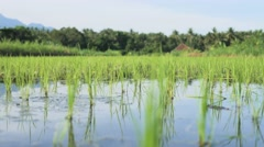Pan shot of green rice seedlings by rows on irrigated paddy field. - stock footage