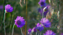 Bright purple wildflowers in the afternoon. Stock Footage