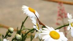 Julia butterfly on a daisy flower Stock Footage