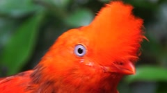 Close up head of Andean cock of the rock Stock Footage
