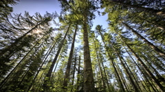 Douglas fir forest low angle, Oregon - stock footage