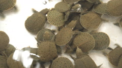Baby softshell turtles in water Stock Footage