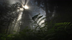 Light rays and fog in Redwood forest, Redwood NP, CA Stock Footage